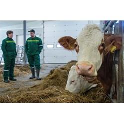 Webinar: Fôring av ammekua etter kalving bilde