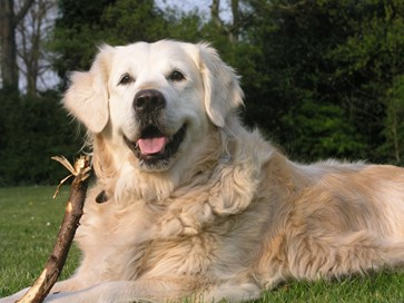 Golden retriever med pinne