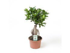 Bonsai Fikus Microcarpa